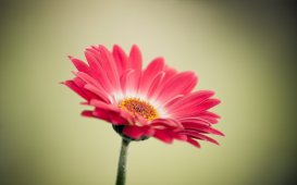 729560__red-flower-wallpaper-wallpapers_p